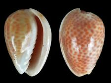 Persicula avellana - Shells from all over the World NEW!!!