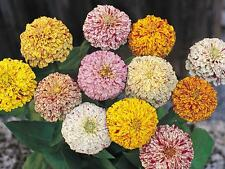 Flower Seed: Peppermint Stick Zinnia Seeds 30 Seeds  Fresh Seed  FREE Shipping