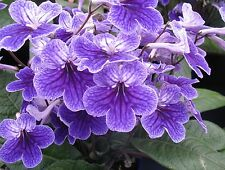 CAPE PRIMROSE * FALSE AFRICAN VIOLET * Streptocarpus * CAPE COOL MIX * SEEDS