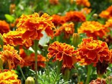 Organic Marigolds-Sparky Mix-50+seeds,fragrant Beneficial to vegetable gardens!