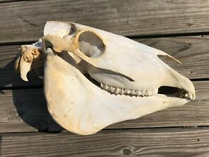 REAL HORSE Equine SKULL TAXIDERMY NATURALLY BLEACHED complete with lower jaw!