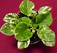 """African Violet Frosty Frolic Sport Mosaic Variegated 4"""" Pot Actual Plant"""