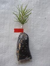 California abeto rojo, abeto rojo, Abies magnifica, árbol de Navidad, plantas de enchufe.