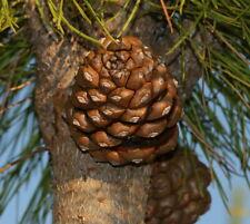 Mittelmeer-Pinie 90035 Bonsai 6 Samen Pinus pinea