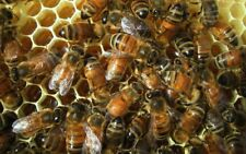 ��20 Real Honey Bees Specimen Insect Taxidermy diorama Dried