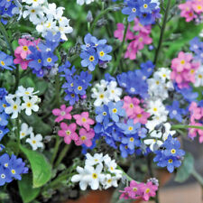 6 x Myosotis Sylva Mix Labelled 'Forget-me-not' Large Plug Plants Biennial