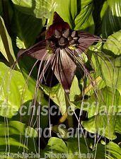 🔥 fledermausblume 6 semillas ** Tacca Chantrieri ** bat Plant ** violeta