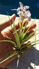 Bromeliad Tillandsia bergeri Exotic Tropical Air Plant