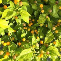 Charapita Chili 🌶 Wildchilli aus Peru 🌶 teuerste Chilli der Welt 🔥 HOT 🔥