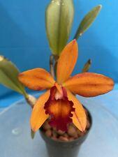 Blc Carolina Orange D'or 'Lenette' X Blc Love Sound 'Dogashima' 4� Pot (15) 6316