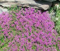 CREEPING THYME Thymus Serpyllum Ground Cover - 20,000 Bulk Flower Seeds
