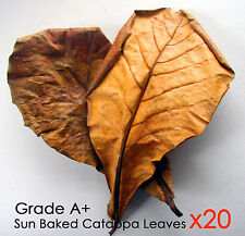 20 Catappa Leaf-for Live Male Female Breeding Betta  Fish  Aquarium Angel tank