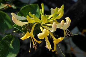 1x HONEYSUCKLE (Lonicera periclymenum) CLIMBER STUNNING FLOWERS