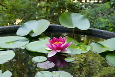 rote Seerose ❆ Duftblume für´s Aquarium oder Schale ❆ Zimmerpflanze ❆ Samen ❆