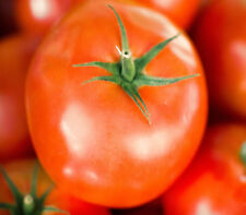 Tomato seeds KY1 heirloom bush tomato great in pots Australian heritage 25 seeds