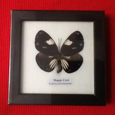REAL BLUE MAGPIC CROW BUTTERFLY TAXIDERMY INSECT PICTURE FRAME ENTOMOLOGY