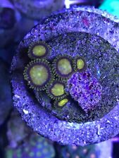 New listing King Midas Zoanthid Live Coral Zoa 3-5 Polyps