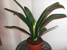 halbschatten zimmerpflanzen mit ausgewachsene pflanzen g nstig kaufen ebay. Black Bedroom Furniture Sets. Home Design Ideas