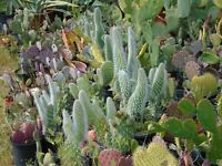 OPUNTIA HEAVEN 12 DIFFERENT PADS