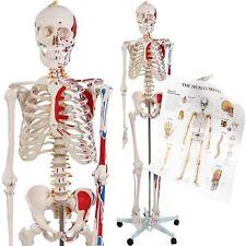 Scheletro Umano Anatomico Anatomia Umana Grandezza Naturale con Grafico