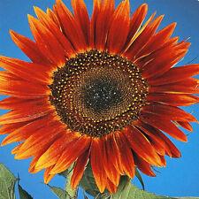 Sunflower 'Evening Sun' 20 seeds flower garden