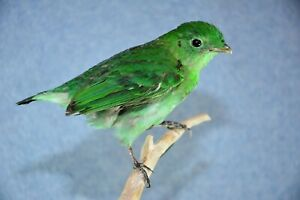 Very Rare Green Broadbill Cotinga Taxidermy Bird Mounts Fly Tying Feathers