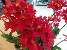 BIN-Epc. Cerina 'Nadia' AM/AOS Newly Awarded! Large Red! Exclusive! Collector's!