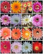ECHINOPSIS variety mix exotic hybrid flowering cacti cactus shick seed 50 SEEDS