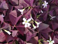 Glücksklee Zwiebeln Oxalis triangularis rote Blätter 10 Zwiebeln