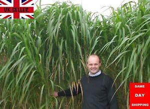 Giant Elephant Grass. 20 fresh seeds. Fully UK Hardy. Same Day Dispatch