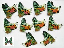 Urania ripheus 10pcs real papered butterflies wholesale for artwork and frames