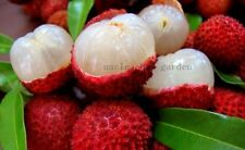 *UNCLE CHAN* 5 LYCHEE SEEDS Litchi Tropical Subtropical fruit tree Juicy Sweet
