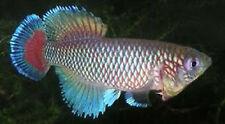 30 EGGS NOTHOBRANCHIUS JUBBI KILLIFISH KILLI EGG HATCHING TROPICAL FISH