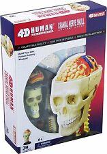 Human Cranial Nerve Skull 4-D Vision Anatomy Model Kit #335296