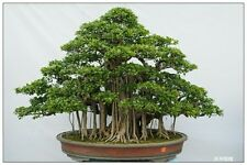 30 Seeds Bonsai Ficus religiosa sacred fig bodhi tree Pippala tree Peepal tree