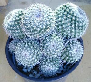 Mammillaria geminispina x hahniana White Ball Cactus 3
