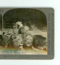 B760 Keystone 16533 The King Of The Beasts From Africa In Captivity D