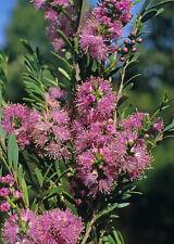 Melaleuca laxiflora  in 50mm forestry tube native plant
