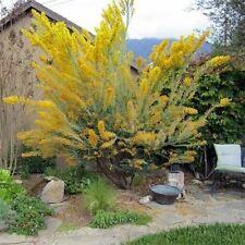 Acacia Cultrilformis - 1 Starter Plant - 1 Feet Tall - Ship in 1 Gal Pot