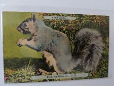 POSTCARD A Nut Cracker from the White Mountains NH Squirrel c1945 O-1