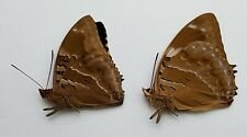 Butterfly : Charaxes numenes aequatorialis PAIR from Burundi