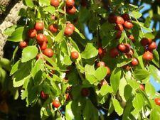 Ziziphus jujuba 50 seeds,zaden,samen,semi,sementes,semillas,graines