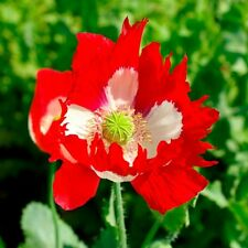 Kings Seeds - Papaver - Poppy Victoria Cross - 2000 Seeds