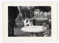 PHOTO ANCIENNE N&B Petit Chien Portrait Table 1967 Animal Main Bras Hors Champ