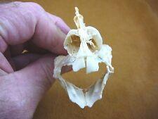 "(Sj277-3) 2-3/4"" Humphead Parrot fish Bumphead parrotfish jaw tooth teeth head"