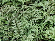 Japanese Painted Fern 12 Plants in 3-1/2 inch Pots Free Shipping