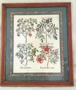 Besler Engraving Hortus Eystettensis Antique Botanical 17th C Hand Coloured RARE