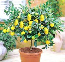 Rare Lemon Tree Indoor Outdoor Garden Available Heirloom Fruit Seeds 10PC/