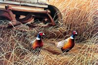 """Autumn Refuge Pheasant Print By Robert Sissel Signed  22.5"""" x 15.5"""""""