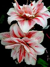 "DOUBLE Hippeastrum ""kathleene ""  Red/ White 15 Mth Offset Bulb LARGE FLOWERS !!!"